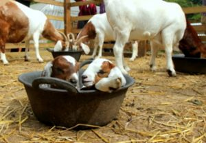 Young goats in bucket